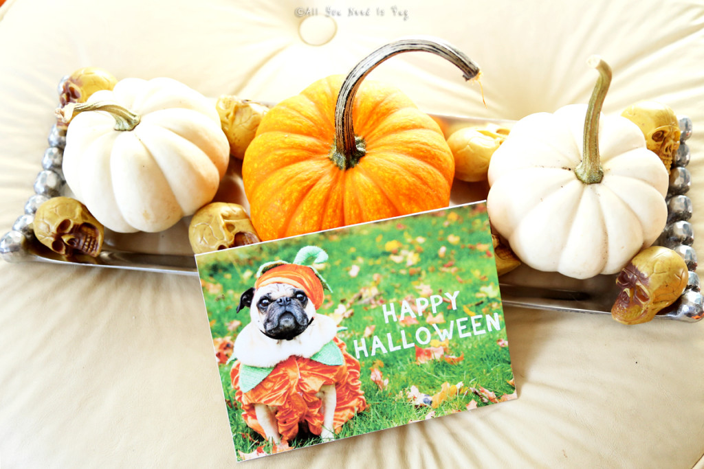 Halloween Pug Card and Pumpkins